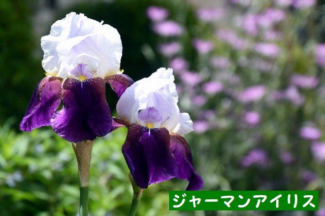 JPG_4839(ジャーマンアイリス).jpg